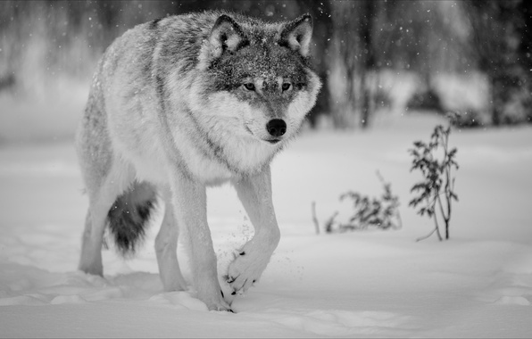 Picture winter, wolf, Nature, animals, winter, wolf