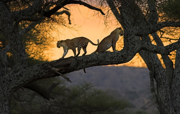 Picture cats, nature, tree, Africa, Kenya