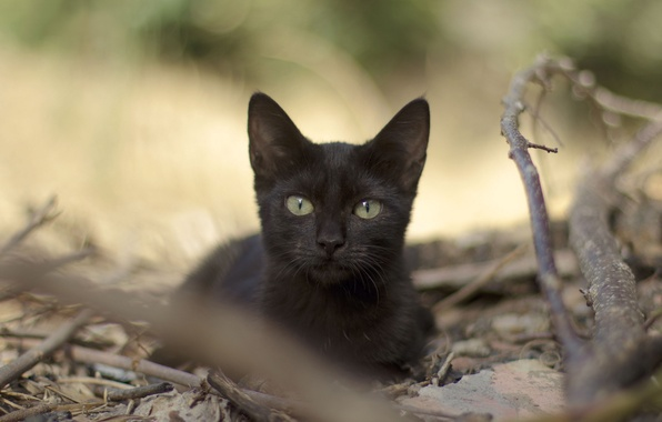Picture cat, look, leaves, branches, black