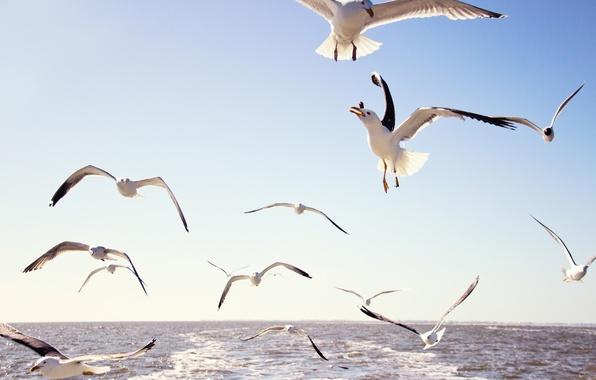 Picture sea, the sky, water, flight, birds, seagulls