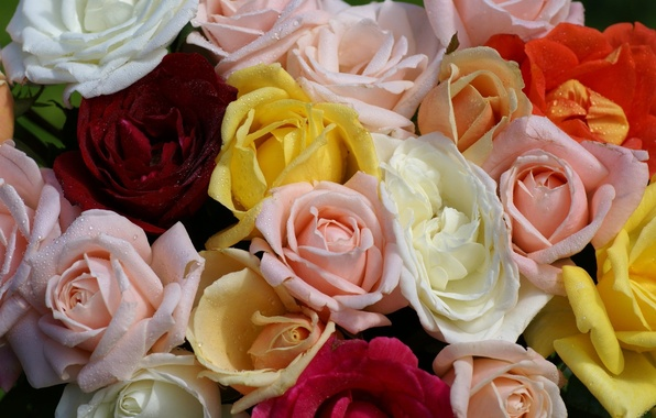 Picture drops, Rosa, roses, yellow, pink, white, red, colorful, a lot, different, beautiful