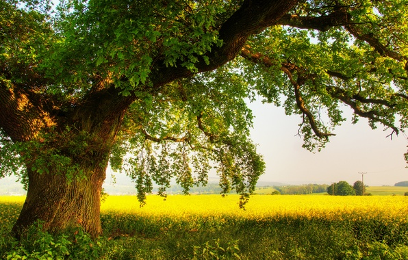 Picture field, summer, nature, tree, oak