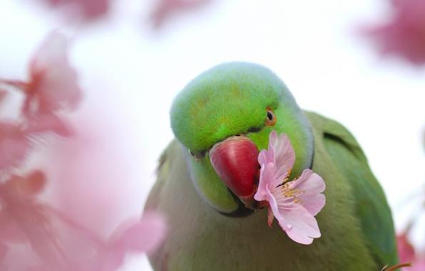 Picture flower, bird, Sakura, parrot, Indian ringed parrot, Alexandrine parrot Kramer