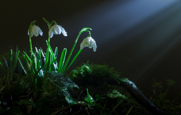 Picture grass, rays, light, flowers, moss, spring, snowdrops