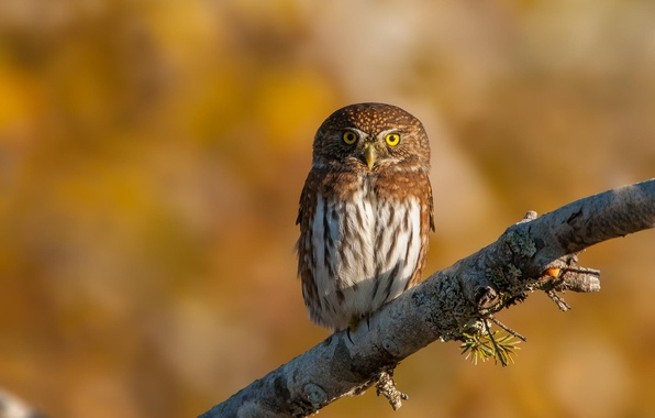 Picture nature, background, owl, bird, branch, Pygmy owl