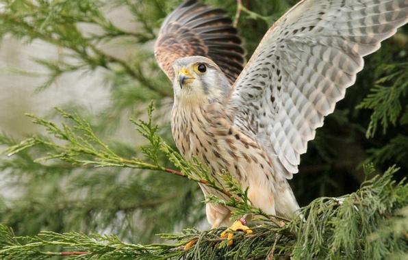Picture bird, wings, Falcon, Kestrel