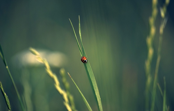 Picture grass, ladybug, spikelets, insect, bokeh