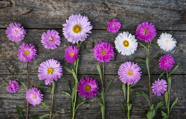 Picture pink, stems, asters