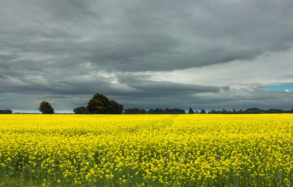 Picture field, the sky, trees, clouds, New Zealand, grey, rape
