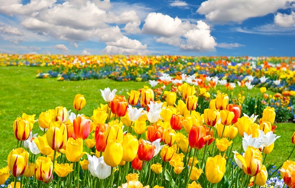 Picture field, clouds, landscape, flowers, nature, spring, tulips