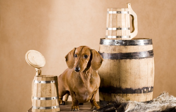 Picture dog, skin, Dachshund, mugs, barrel, brown, wooden, Wallpaper from lolita777