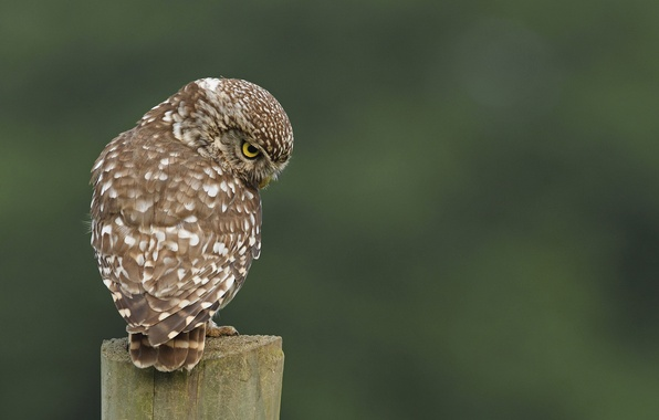 Picture owl, bird, stump, back, speckled