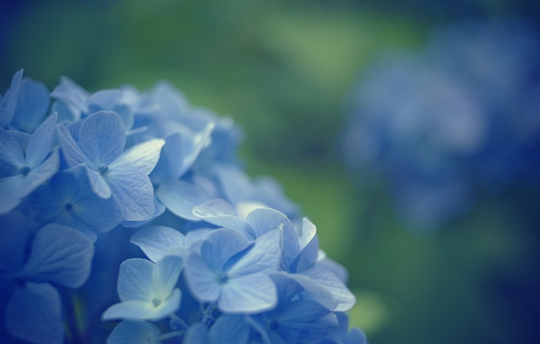 Picture macro, flowers, background, blue, widescreen, Wallpaper, blur, wallpaper, flowers, widescreen, background, full screen, HD wallpapers, …