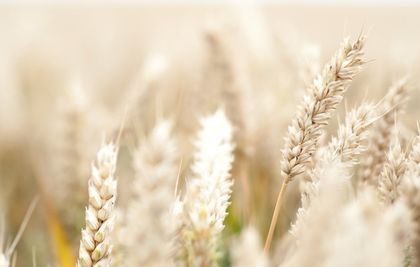 Picture wheat, field, flower, macro, flowers, background, pink, widescreen, Wallpaper, rye, petals, spikelets, wallpaper, ears, flower, ...