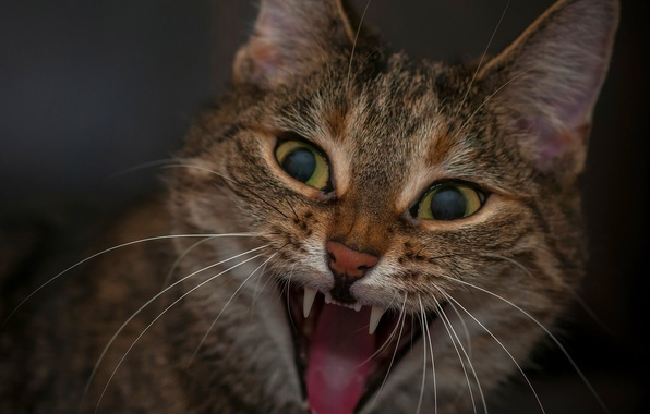 Picture cat, cat, mouth, face, aggressive