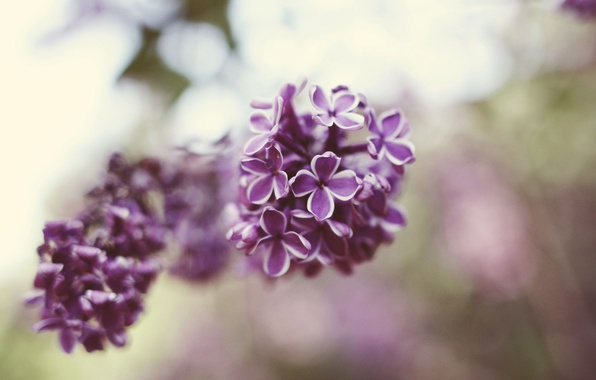 Picture flowers, petals, lilac
