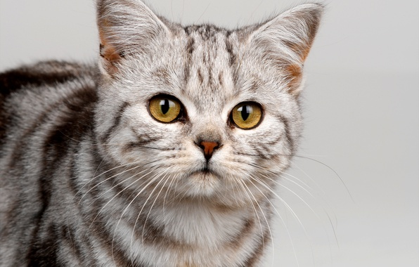 Picture cat, eyes, cat, mustache, look, face, strip, grey, yellow, color
