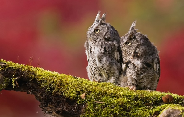 Picture birds, background, two, moss, branch, owls