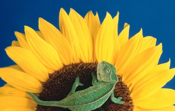 Picture Flowers, sunflower, lizard