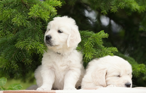Picture dogs, puppies, a couple, twins, spruce branches