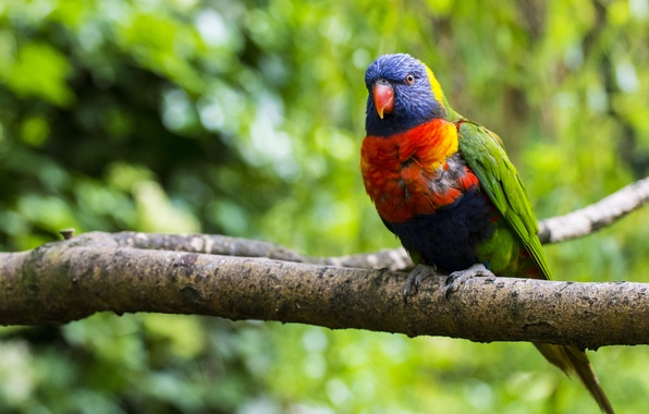 Picture greens, nature, tree, bird, branch, blur, parrot, colorful, multicolor lorikeet