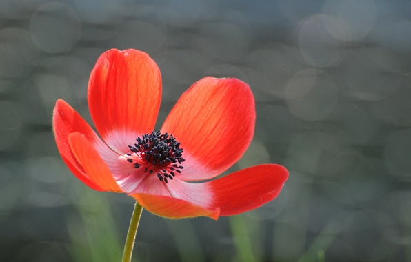 Picture flower, red, glare, grey, background, petals, Anemone
