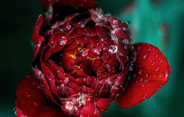 Picture drops, Rosa, rose, Bud