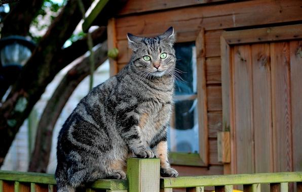 Picture cat, cat, the fence, Koshak