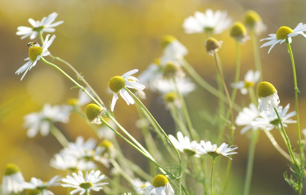 Picture greens, summer, grass, the sun, light, flowers, nature, heat, stems, color, chamomile, plants, petals, blur, …