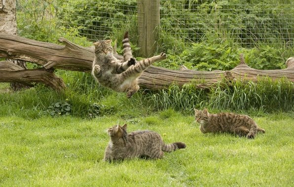 Picture grass, game, wild cat, kung fu, Scottish, The Scottish Wildcat