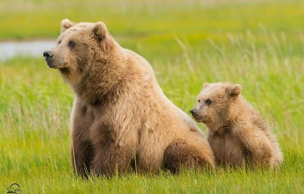 Picture grass, bears, Alaska, bear, Alaska, cub, bear, Lake Clark National Park