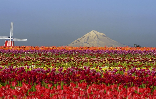 Picture field, flowers, mountains, nature, mill, tulips