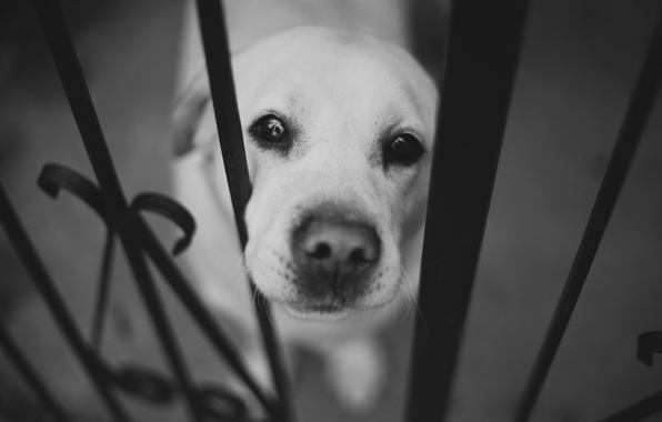 Picture face, the fence, dog, nose, black and white, Labrador