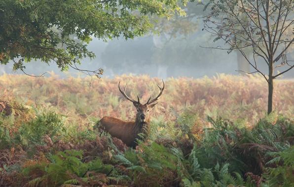 Picture autumn, grass, trees, nature, deer, horns, fern, maral