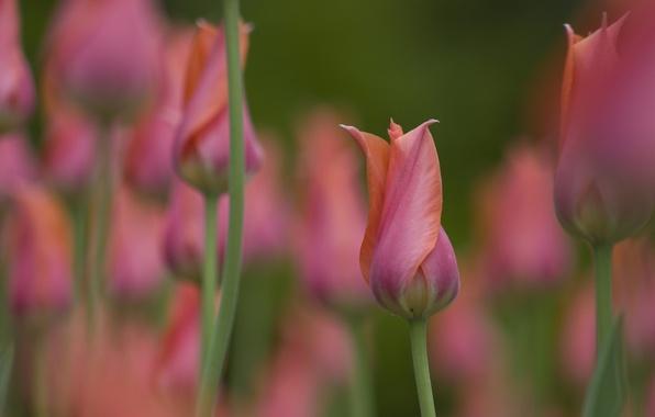 Picture macro, Bud, tulips