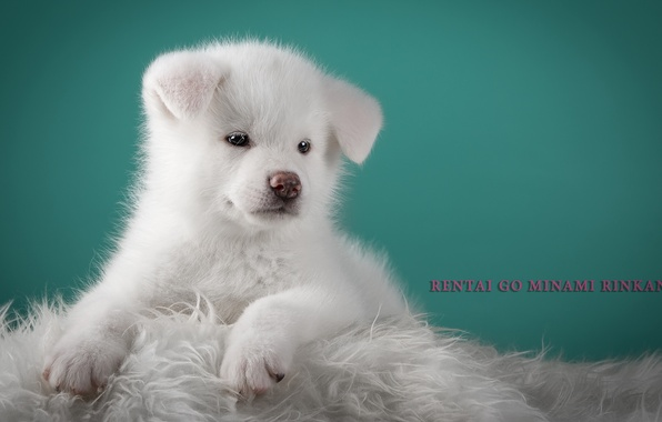 Picture white, fluffy, cute, puppy, doggie, Japanese Akita