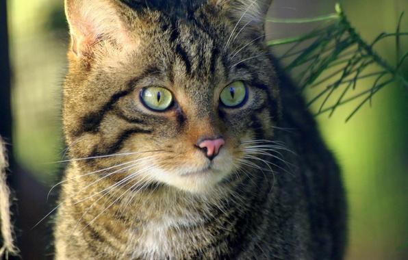 Picture eyes, look, Koshak, Tomcat