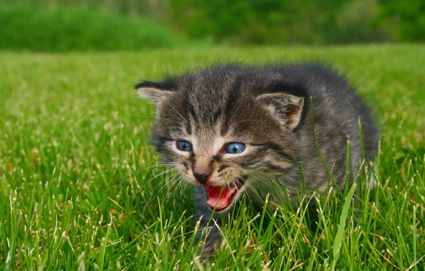 Picture greens, animals, grass, eyes, nature, kitty, photo, blue, Calling for Mommy, sizzle, the call to …