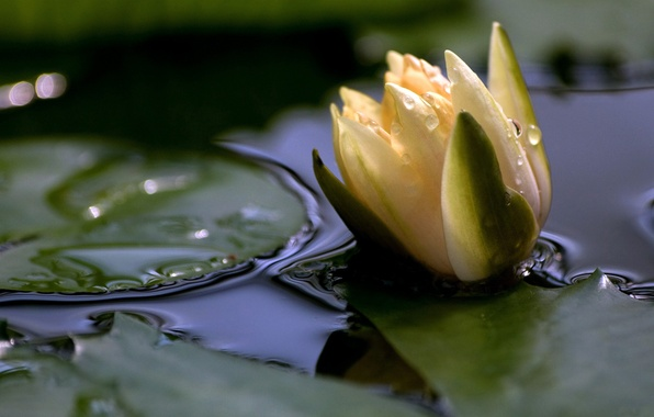 Picture PETALS, WATER, FLOWER, LEAVES, WHITE, SURFACE, POND, LAKE, LILY