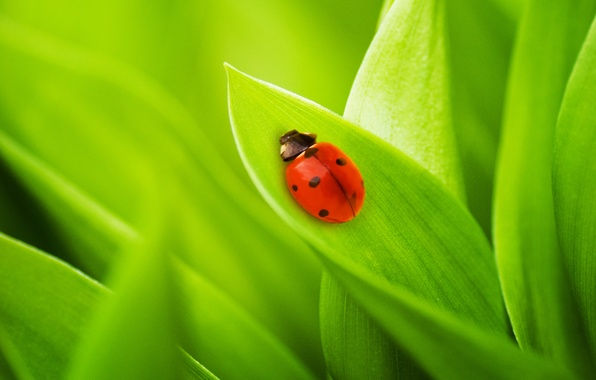Picture grass, leaves, nature, ladybug, bugs, grass, nature, green macro