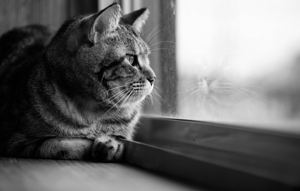 Picture cat, cat, look, glass, reflection, window, black and white