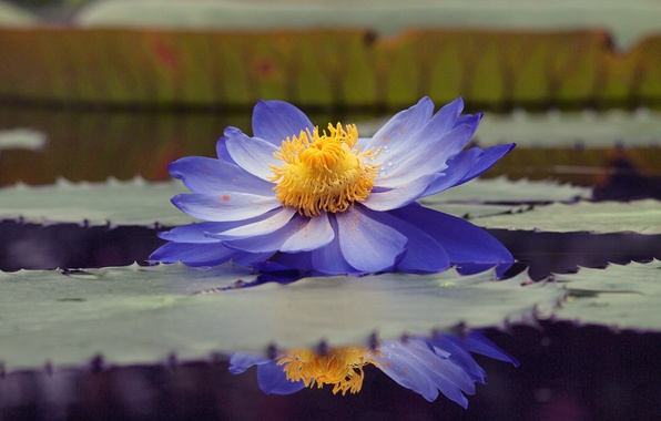 Picture leaves, water, drops, pond, reflection, pollen, blue, Lotus, Lily, water Lily