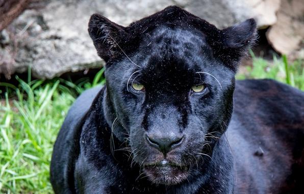 Picture eyes, look, predator, Jaguar