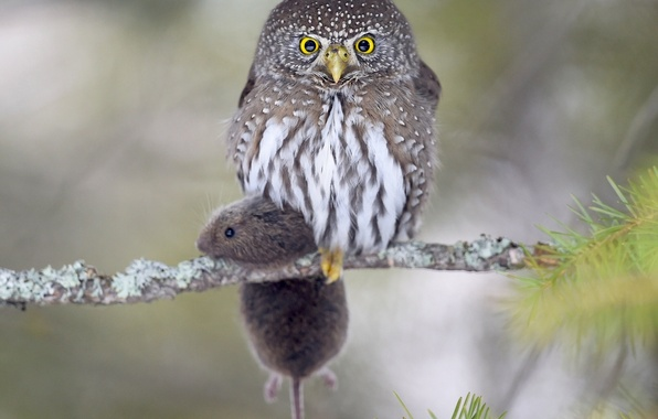 Picture owl, bird, branch, mouse, mining, vole, Pygmy owl-the gnome