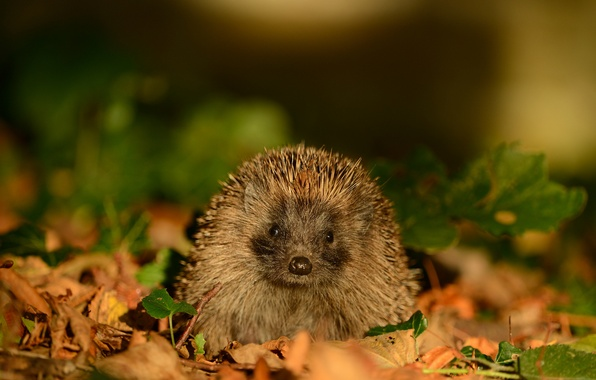 Picture autumn, leaves, nature, animal, muzzle, hedgehog, twigs