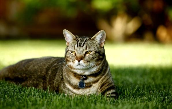 Picture cat, grass, nature, a kind of British tortoiseshell, pedigree