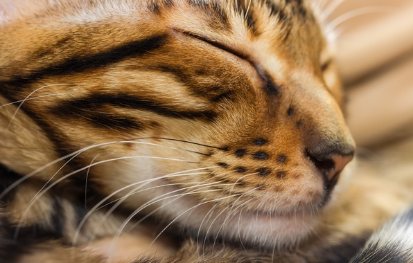 Picture cat, cat, face, sleep