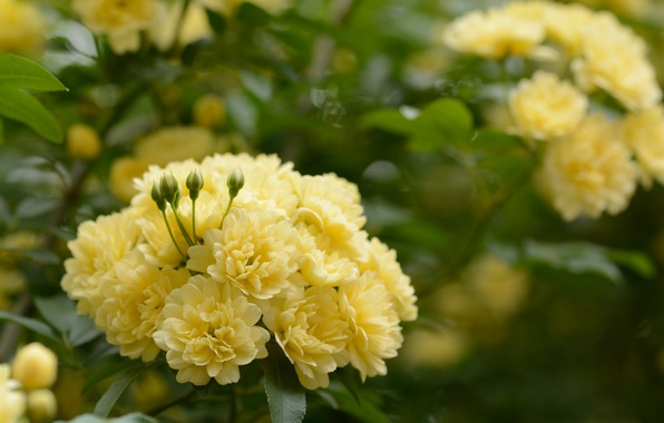 Picture leaves, flowers, branches, roses, yellow, flowering, gently