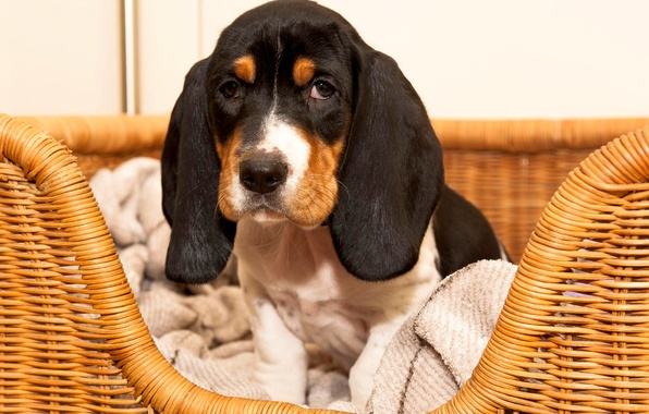 Picture look, basket, puppy, ears