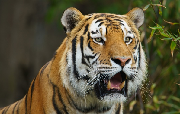 Picture face, tiger, predator, wild cat, The Amur tiger